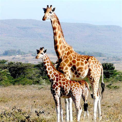 imagenes reales de jirafas la gestaci 243 n de las jirafas