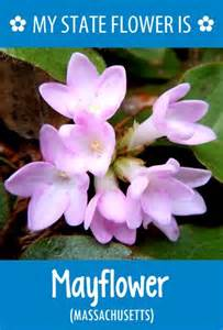 what is a state flower massachusetts state flower is the mayflower what s your