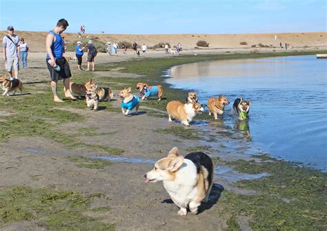 corgi puppies bay area june san diego corgi meetup island the san diego corgi meetup san