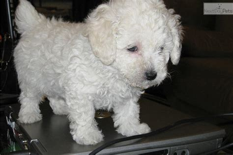 pounds near me akc mini white 500 parents 4 5 pounds poodle puppy for sale near