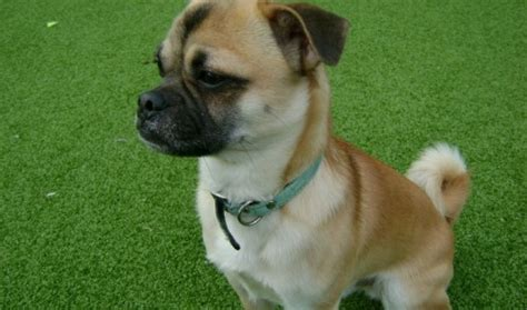 pug rescue sussex max 1 year pug cross for adoption