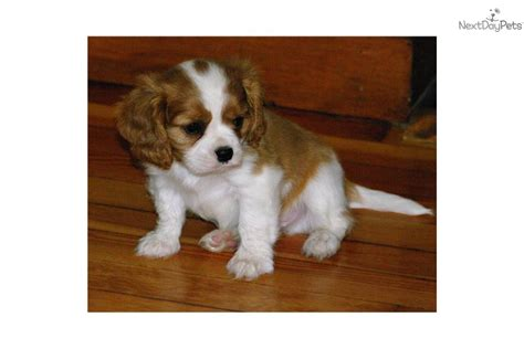 king charles cavalier puppies for sale near me cavalier king charles spaniel puppy for sale near 1d542ab3 2d71