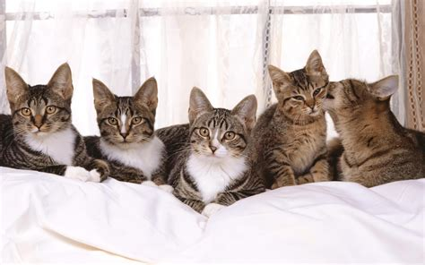 Cat On Bed by Cats In Bed Wallpaper 280