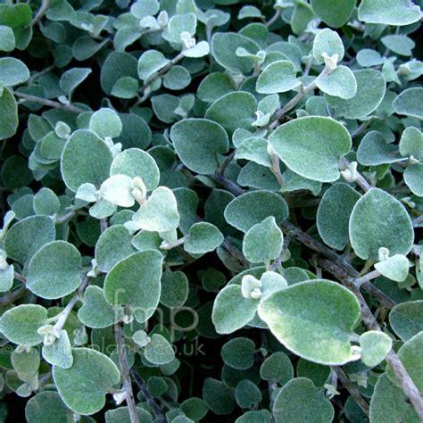 plant pictures helichrysum petiolare helichrysum