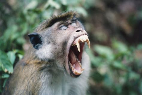 monkey attacked baby tore  testicle  ate  report