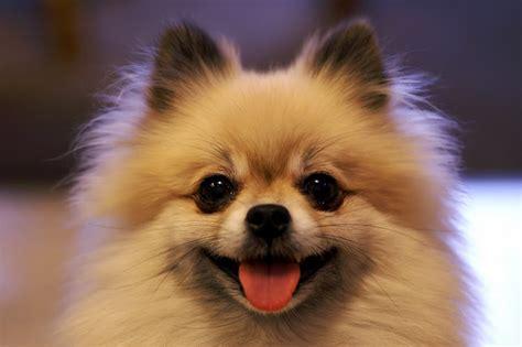 pomeranian faces pomeranian puppy doglers