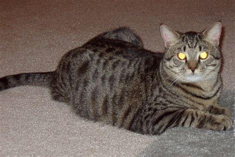 Mata Kucing Yellow 10 pulsar metaqua tapetum lucidum lapisan yang membuat mata
