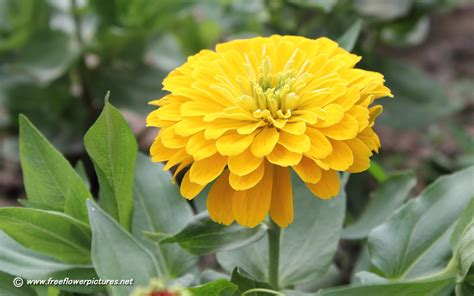 zinnia pictures zinnia flower pictures