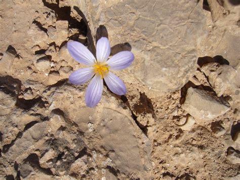 fiore nel deserto panoramio photo of fiore nel deserto