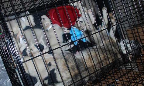 are puppy mills illegal stop illegal mass pet forcechange