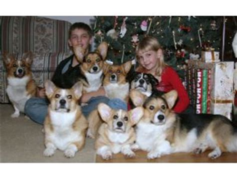 corgi puppies for sale in ohio pembroke corgi puppies and dogs for sale and adoption in ohio breeds picture