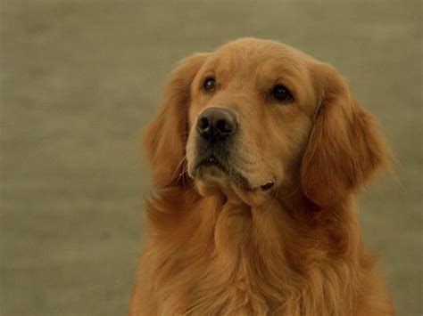 air buddy buddy air bud wiki