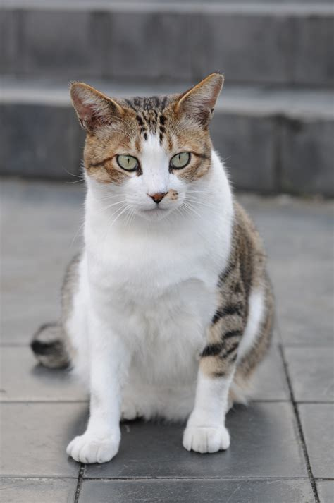 brown and white brown and white tabby cat pictures to pin on pinsdaddy