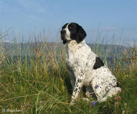 types of pointer dogs 86 best images about pointers my buckshot on quails rescue dogs