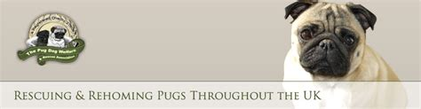 pug rehoming uk pug adoption sweetpea pugs kennel club pug breeder microchip implanter