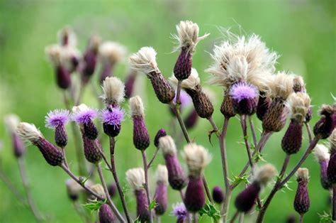 milk thistle for dogs milk thistle for your dogs naturally magazine