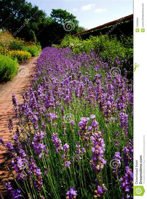 lavender beds lavender garden flower bed stock images image 11209064