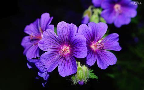 Flowers Violet violet flowers hd wallpaper bighdwalls