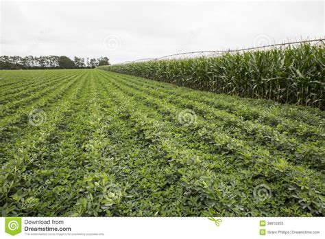 irrigated corn irrigated corn and legume crops stock photo image 38810353