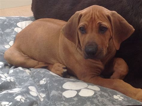 rhodesian ridgeback mix puppies for sale rhodesian ridgeback great dane mix quotes breeds picture