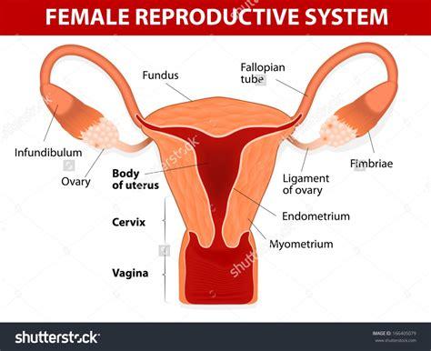 External Female Reproductive System Diagram | external female reproductive system diagram external