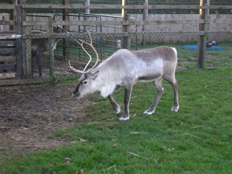 reindeer for sale 28 images reindeer sleigh for sale