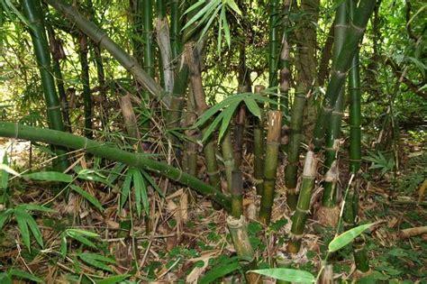 Wallpaper Bambu Hijau 10 Meter 45 Cm bambu bambusa vulgaris schrad ex j c