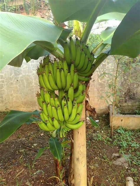 Bibit Pisang Cavendish Di Lung jual bibit pisang cavendish central bibit pisang