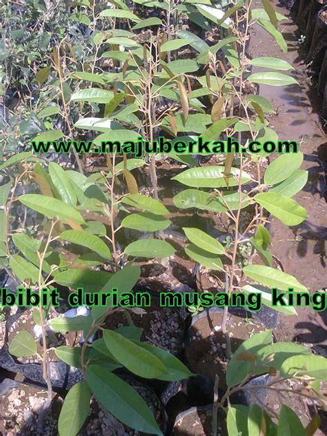 Bibit Durian Musang King Di Tasikmalaya bibit durian musang king bibit tanaman durian musang king