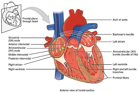 identify all indicated parts of the nerve section cardiac conduction system creative commons illustration
