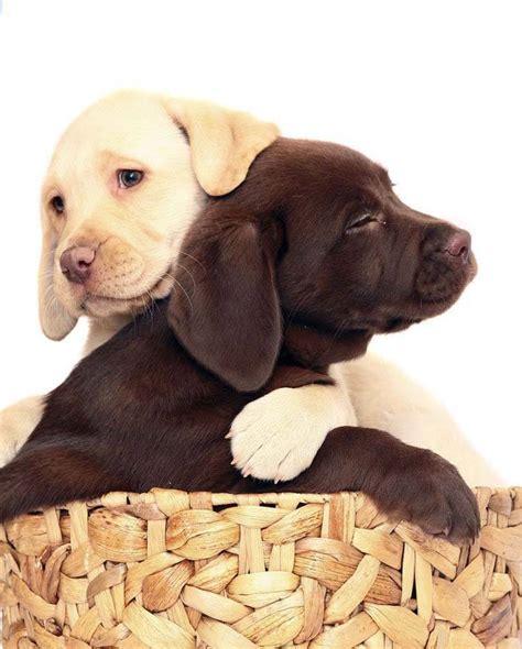 chocolate lab puppy names chocolate names for a labrador retriever breeds picture