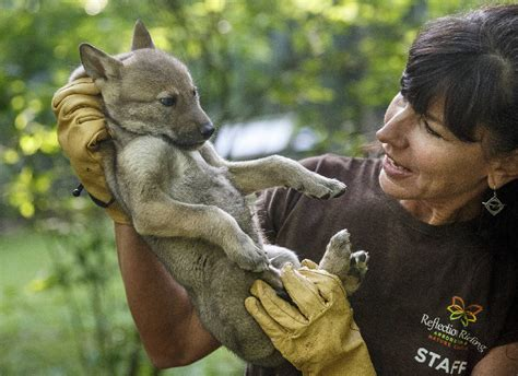free puppies in chattanooga reflection nature center raising endangered newborn wolf puppies photos