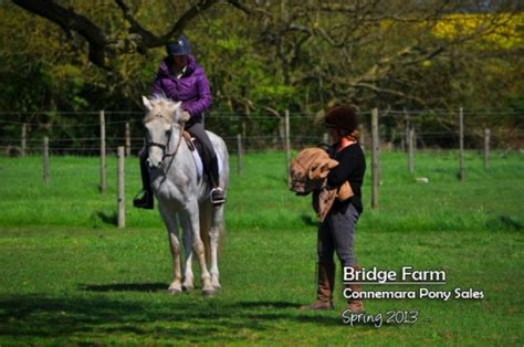 essex golden retrievers bridge farm essex for top quality golden retrievers connemara ponies