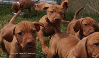 vizsla puppies nc vizsla puppy pictures america s best lifechangers