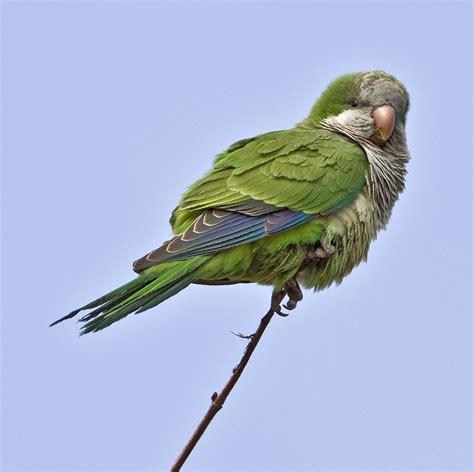 quaker parrot parrots pinterest