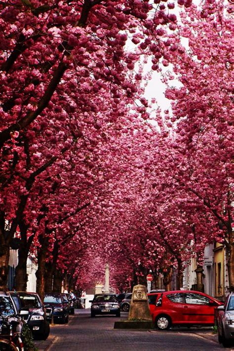 cherry tree 4th ave 13 enchanting tree tunnels you need to walk through cherry blossoms and fotografia