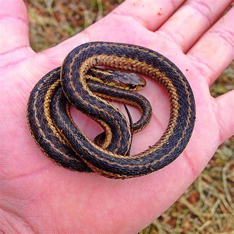 rid  garter snakes
