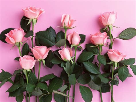 wallpaper pink rose pink roses backgrounds wallpaper cave