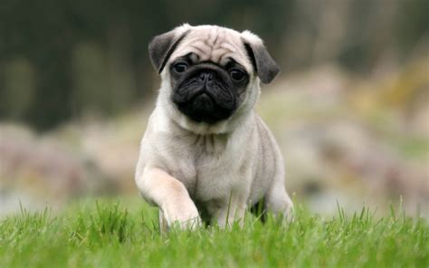pug in 45 pug collection golfian