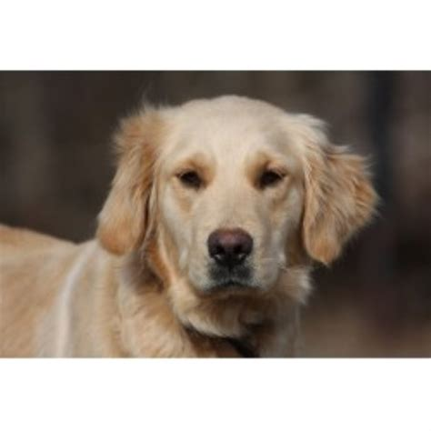 golden retriever breeders in va the farm golden retriever breeder in martinsville virginia listing id 12464