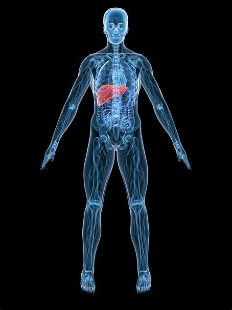 imagenes sorprendentes cuerpo humano index of uniandes imagenes cuerpo humano imagenes cuerpo