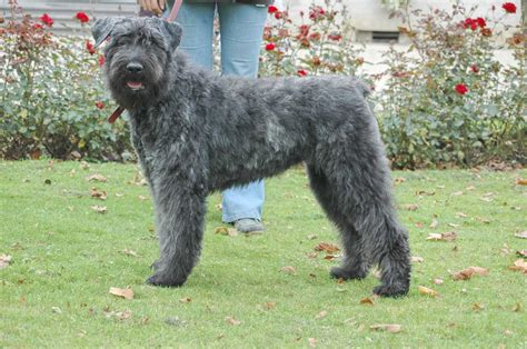 bouvier dogs bouvier des flandres history personality appearance health and pictures