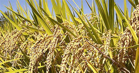 Laris Cotton Tree Handuk Jepang Brown el cambio clim 225 tico reduce la producci 243 n de arroz