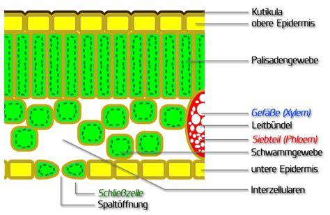 Beschriftung Querschnitt Laubblatt by Fotosynthese Gymnasium Eqiooki De