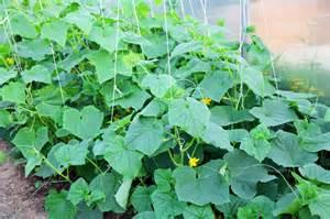 gurkenanbau im garten gurken anbauen 187 so gelingt der anbau