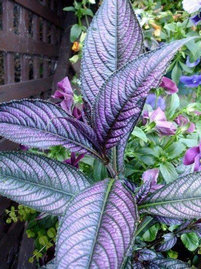 persian shield care instructions   grow  persian