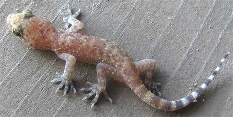mediterranean house gecko mediterranean house gecko hemidactylus turcicus