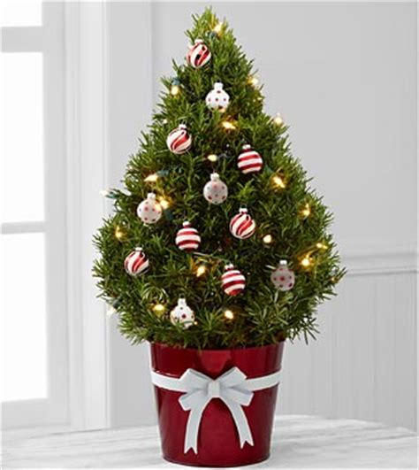 mini christmas tree live top 5 trees for small spaces the san diego furniture rental signature