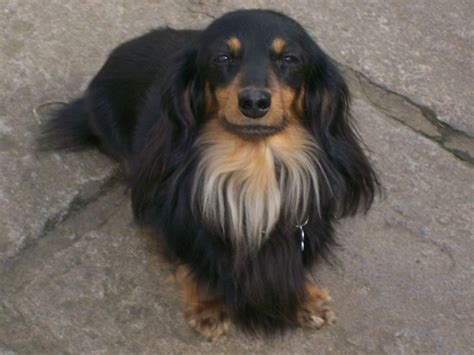 mini longhaired dachshund puppies longhaired miniature dachshund for stud monmouth monmouthshire pets4homes