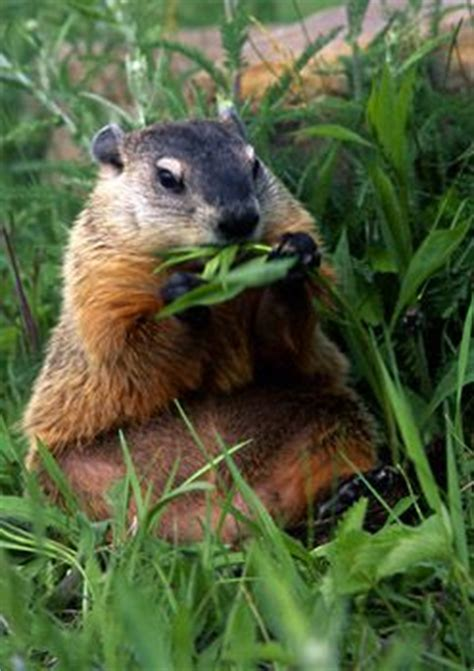 groundhog day reference 49 best woodchuck reference images on